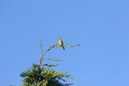 serin bird Latin name serinus serinus singing and dancing on top of a cypress tree in spring in Italy Stock Photo
