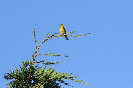 serin bird Latin name serinus serinus close up singing and dancing on top of a cypress tree  in spring in Italy
