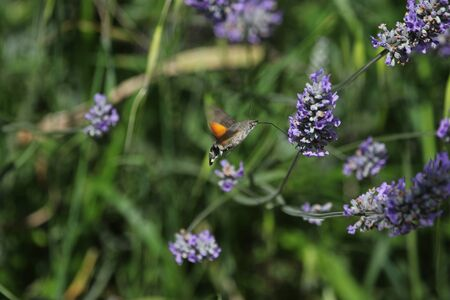 Bee fly or bee-fly Latin name bombylius major coming in to feed on lavender lavandula flower in Italy