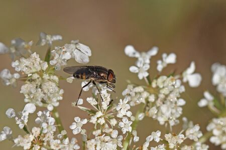 house fly or housefly Latin name musca domestica or stomoxys calcitrans muscidae extremely close up feeding on viburnum flower caprifoliaceae in Italy Stock Photo