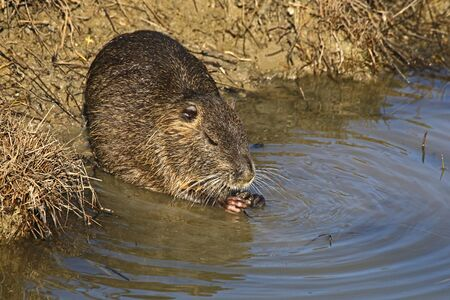 Coypu or nutria or type of beaver eating a root in a stream in Italy Latin name myocastor coypus