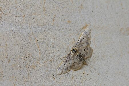 Lustrous least carpet moth Latin name idaea filicata not rusticata or vulpinaria from the family geometridae and dusty wave at rest on a wall in summer in central Italy
