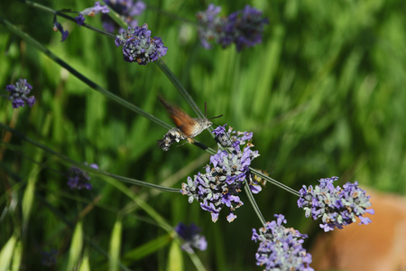 Humming bird hawk moth or hawkmoth Latin name macroglossum stellatarum mid-flight feeding on lavender flowers lavandula in Italy