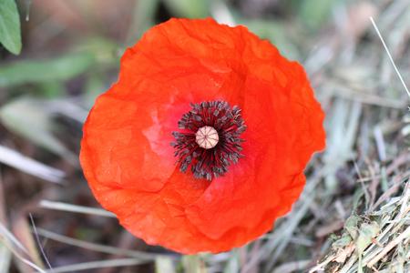 Poppy flower or papaver dubium close up in italy in springtime poppy flower or papaver dubium close up in italy in springtime remembrance flower first world war mightylinksfo