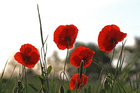 Poppy flowers Latin papaver dubium poppies with the light behind in Italy in Springtime remembrance flower first world war remembering Flanders fields poem by John McCrae Stock Photo