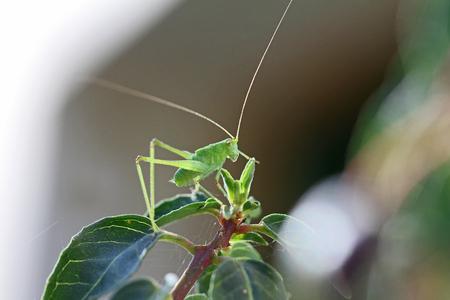green speckled bush cricket or katydid close up Latin name leptophyes punctatissima a flightless cricket or grasshopper on a green leaf in summer