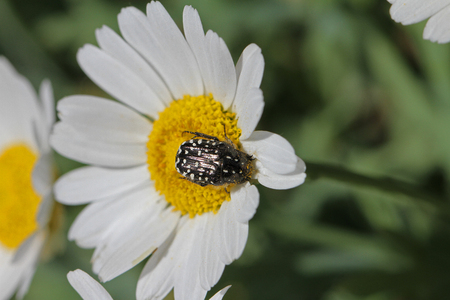 chafer bug or beetle or June bug Latin name oxythyrea funesta on daisy flower bellis perennis in spring in Italy also called Mediterranean spotted chafer