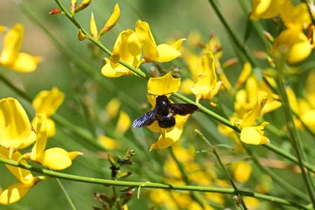 Carpenter bee latin name xylocopa violacea on yellow broom or carpenter bee latin name xylocopa violacea on yellow broom or ginsestra flower latin name cytisus scoparius mightylinksfo