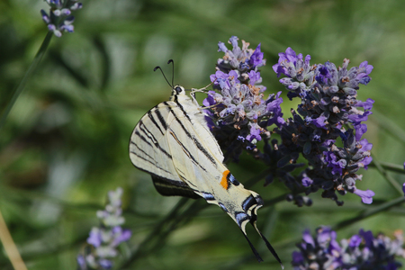 scarce swallowtail butterfly also called a sail swallowtail or pear-tree swallowtail Latin name iphiclides podalirius an endangered species family papilionidae feeding on lavender or lavandula in summer in Italy