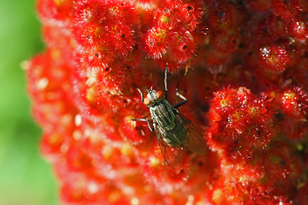 stable fly or house fly very close up Latin stomoxys calcitrans muscidae or musca domestica on a ripening sumac, sumach or sumaq panicle also called staghorn, rhus typhinia or coriaria in Italy Zdjęcie Seryjne