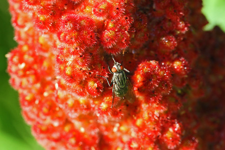 stable fly or house fly very close up Latin stomoxys calcitrans muscidae or musca domestica on a ripening sumac, sumach or sumaq panicle also called staghorn, rhus typhinia or coriaria in Italy Zdjęcie Seryjne - 104347192
