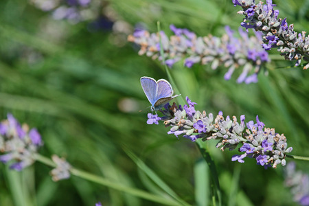 common blue butterfly showing full blue colour color Latin name polyommatus icarus boalensis on a purple lavender Latin lavandula flower in Italy
