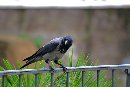 hooded crow Latin corvus cornix in the family corvidae perched on a railing in the centre of Rome near the Colosseum cleaning its beak very intelligent birds 写真素材