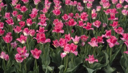 Field of pink tulips on a sunny day, morning Stock fotó
