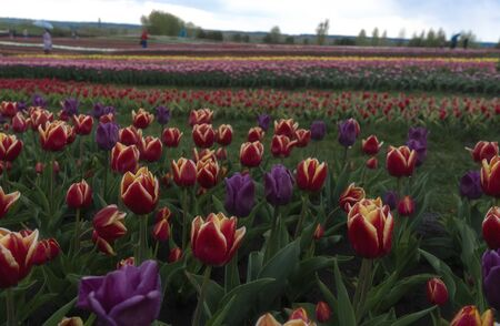 Field of beautiful purple and red tulips, cloudy day