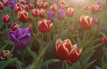 Lots of purple and red tulips, sunny day Stock fotó