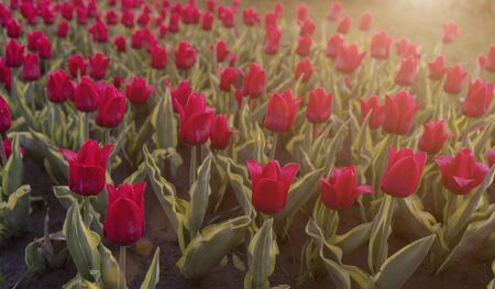 Great scarlet tulips with dew drops on a sunny day