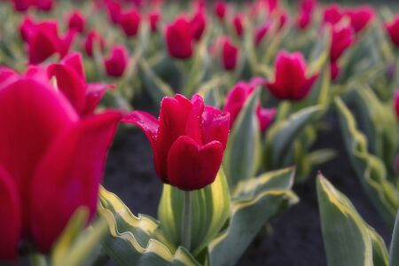Great red tulips with dew drops, morning