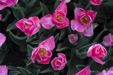Great pink tulips, top view morning