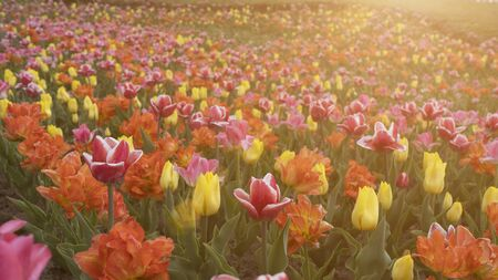 Flower field at sunset, lots of tulips, sunny day