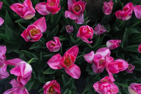 Amazing pink flowers, fron view, close up
