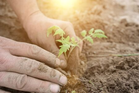 Planting seedlings in the ground, close up