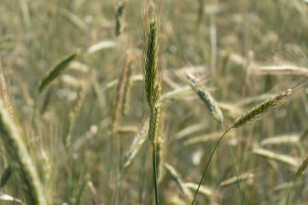 Spikelets of ripened wheat in the field