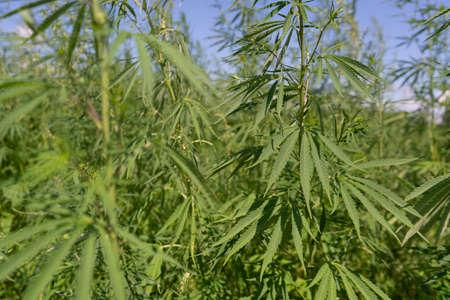 Large marijuana plantation, canabis bud