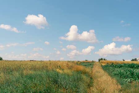 View of a field with wheat Zdjęcie Seryjne