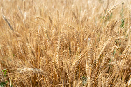 Ripe spikelets of wheat in the field