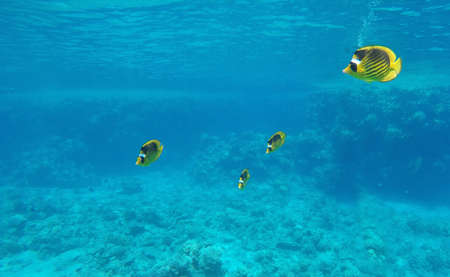 Beautiful yellow fish underwater, clear water, coral
