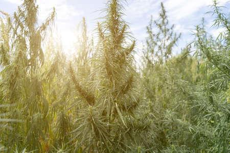 Large marijuana plantation during flowering Zdjęcie Seryjne