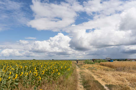 Farmer in the field harvests