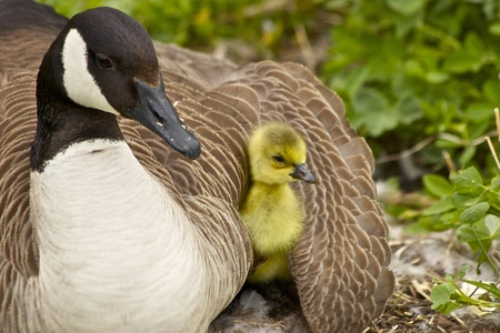 gosling: Goose and Gosling Under Wing Stock Photo