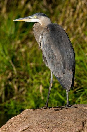 ardeidae: Great Blue Heron Stock Photo