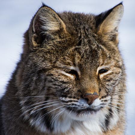 bobcat: gato mont�s Foto de archivo