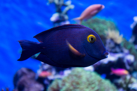 surgeonfish: Spotted Surgeonfish Stock Photo