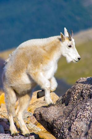 Mountain Goat Archivio Fotografico - 33176518