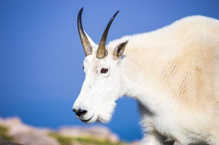 Mountain Goat Archivio Fotografico - 33176521