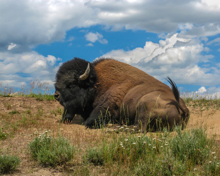 A bison resting on the sand among the grass and flowers at Yellowstone National Park.