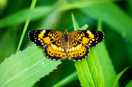 tawny: Tawny Crescent Butterfly