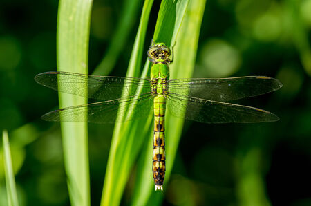 pondhawk: Common Pondhawk Dragonfly