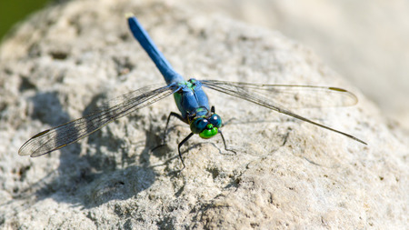 libellulidae: Eastern Pondhawk Dragonfly Stock Photo