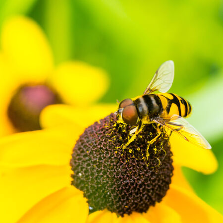 hover: American Hover Fly Stock Photo