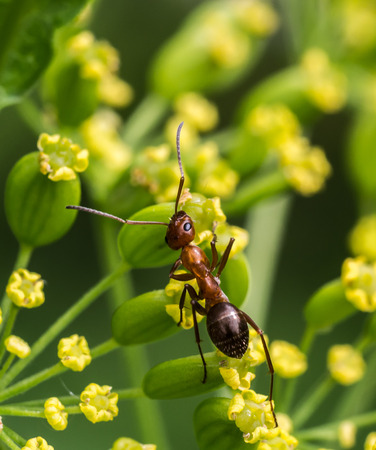 formicidae: Red Ant on Flowers Stock Photo