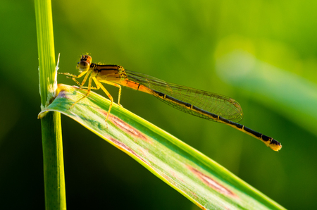 zygoptera: Orange Bluet Damselfly