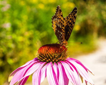 crescent: Crescent Butterfly