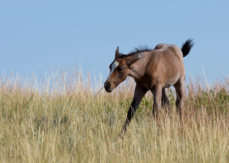 theodore roosevelt: Foal at Theodore Roosevelt National Park