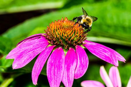 Bumble Bee on Purple Coneflower Stock Photo