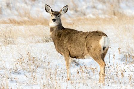 doe: Mule deer doe in the winter in the Badlands National Park of South Dakota.